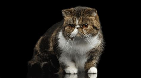 gato pelo corto gato ex 243 tico de pelo corto