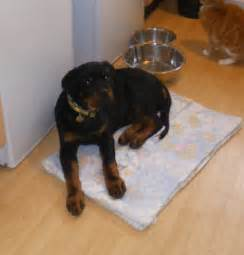 17 week rottweiler 17 week rottweiler for adoption