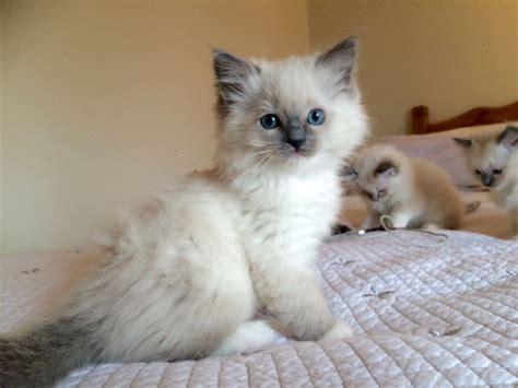 2 ragdoll kittens ragdoll kittens blue mitted lilac lynx mitted seal