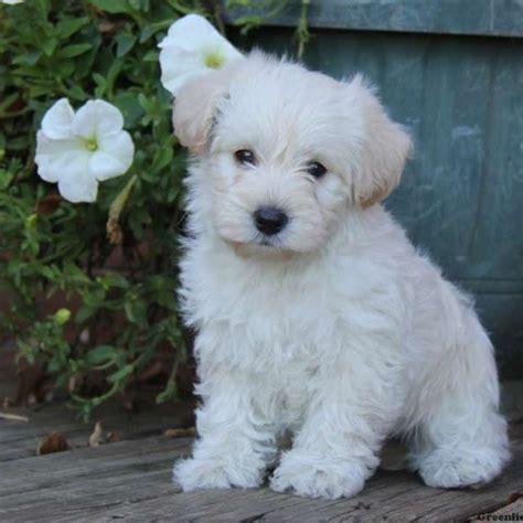 westiepoo puppies westiepoo puppies for sale westiepoo breed info greenfield puppies