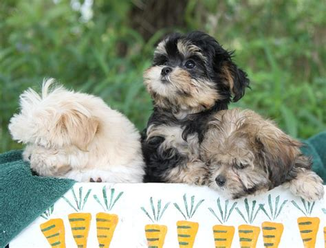 smooth coat mi ki puppies for sale 177 best images about mi ki doggies on dogs for sale photos of