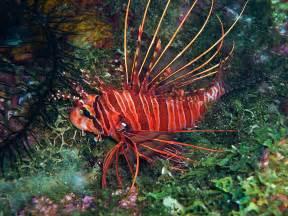 lion fish utila dive center scuba diving padi