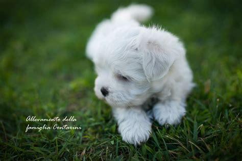 alimentazione cani maltesi razza maltese informazioni e caratteristiche