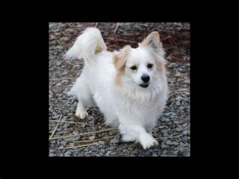 pomeranian corgi mix vann the handsome pomeranian corgi mix to live animal