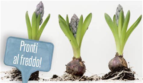 piantare bulbi tulipani in vaso quando si piantano i bulbi di tulipani e non per un