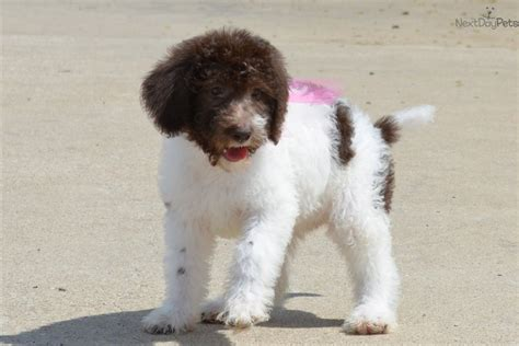 chocolate labradoodle puppies for sale near me labradoodle puppy for sale near dallas fort worth 91116aae 3e71