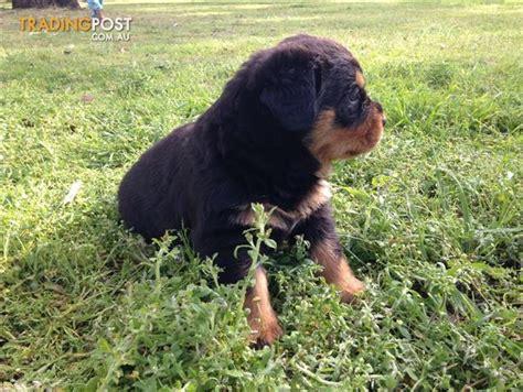 rottweiler puppies nsw rottweiler puppies bob for sale in londonderry nsw rottweiler puppies bob