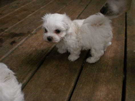 puppies for sale in murfreesboro tn maltese puppies and dogs for sale and adoption in tennessee breeds picture