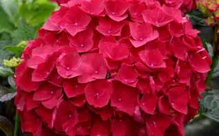 Planting Climbing Roses - buy cardinal red hydrangea for sale online from wilson bros gardens