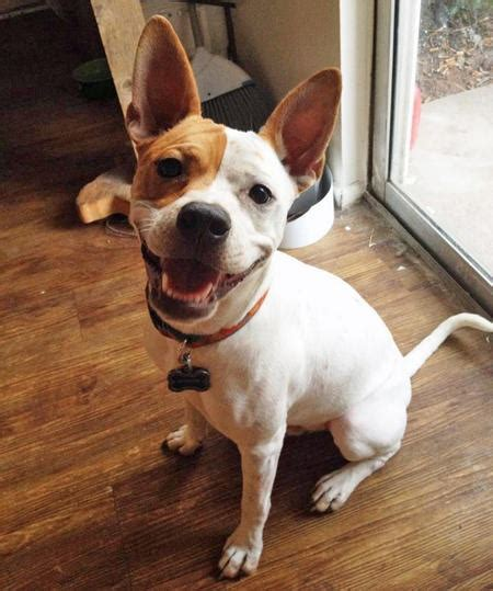 basenji mix puppies basenji and rat terrier mix breeds picture