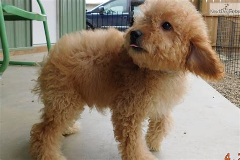 mini goldendoodles nebraska goldendoodle puppy for sale near south bend michiana