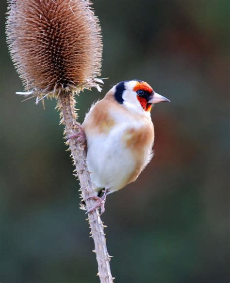 treknature goldfinch looking for food photo
