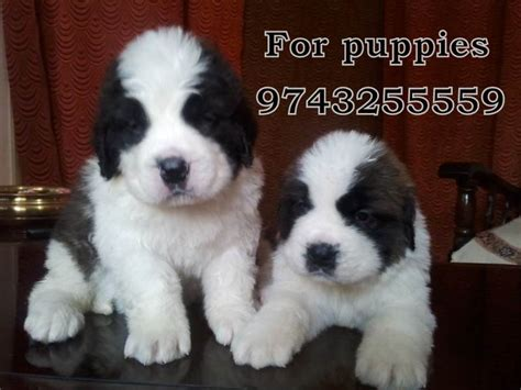 bernard puppies for sale high standard st bernard show breed puppies for sale karnataka