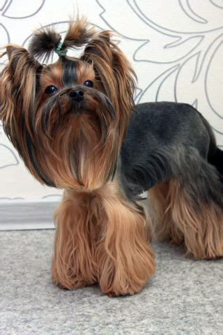 yorkie pics with hair pictures of teddy bear cut yorkshire terrier search