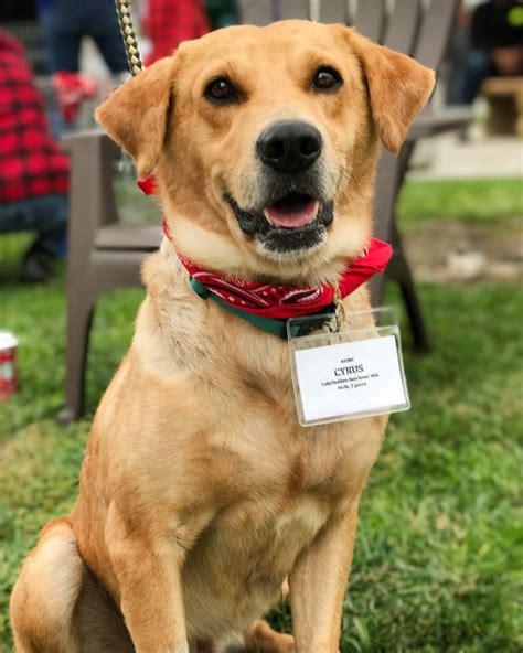 golden retriever rescue san diego view ad golden labrador for adoption california san diego