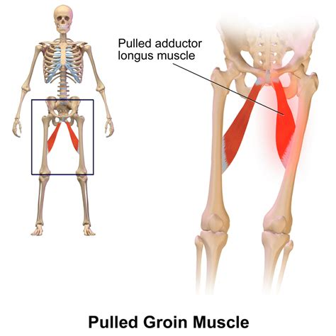 groin anatomy diagram anatomy of groin muscles human anatomy diagram