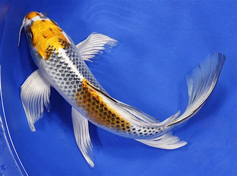 blue koi wallpaper do you know these japanese koi varieties japan info