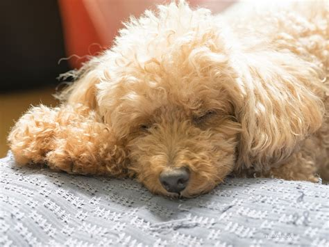 hypoglycemia puppy canine hypoglycemia a lack of sugar in the