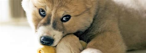 puppy chewing phase puppy teething tips tricks petsmart
