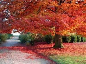 autumn beautiful season tree red leaves pixdaus