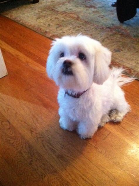 shih tzu maltese mix rescue adrati dogs rescue transport category archives adopted