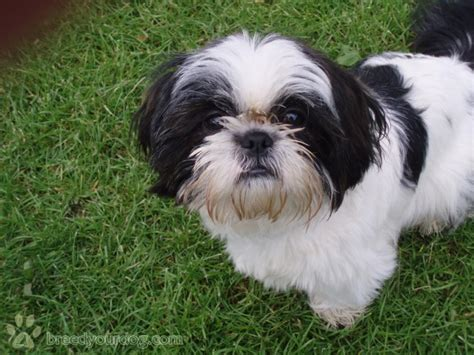 black white shih tzu stud black and white shih tzu for stud breed your