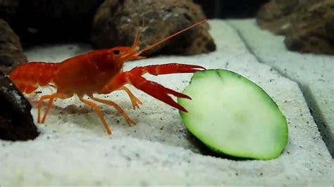 what do crayfish eat in their natural habit hope elephants