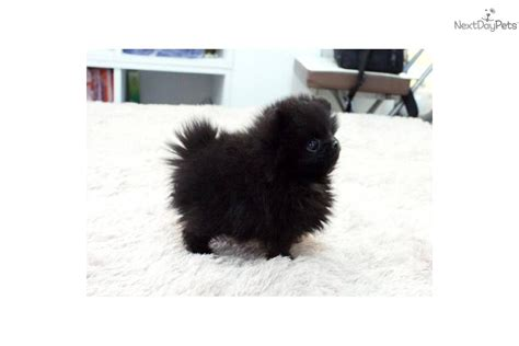 black micro teacup pomeranian for sale pomeranian puppy for sale near jackson mississippi 9806f49d c661