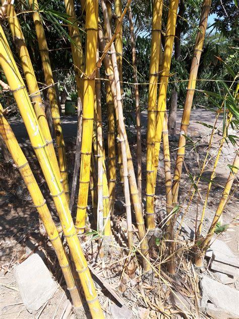 indahnya pohon bambu kuning  khas  pekarangan rumah fenomenologi gambar