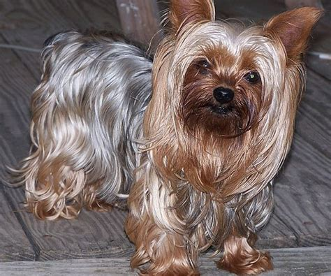 average yorkie weight top 10 most popular breeds for 2012