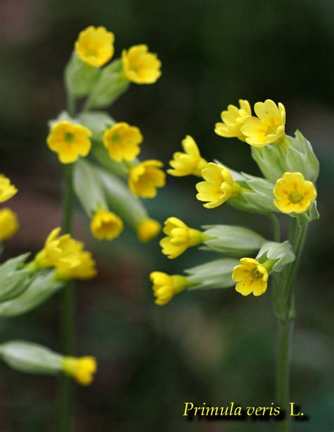 fiori baldo fiori monte baldo vr forum natura mediterraneo