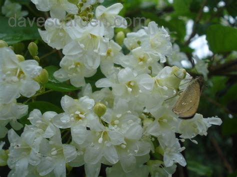 plant identification closed vine with tiny white fragrant flowers 1 by lai27