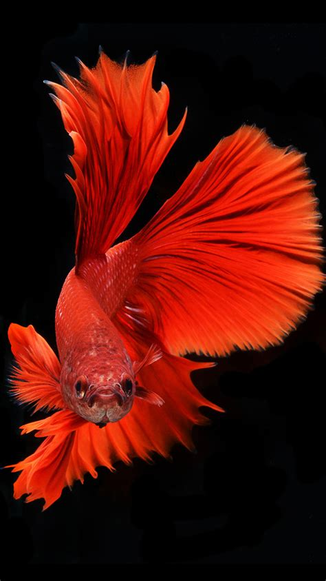 wallpaper iphone fish apple iphone 6s wallpaper with red veil tail betta fish in