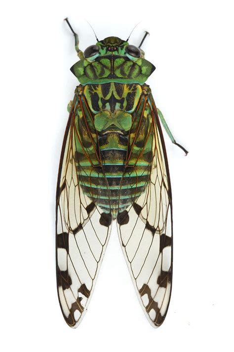 emerald cicada barbilla np costa rica photograph by piotr