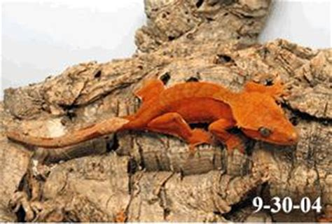 do geckos change color crested gecko color change sequence