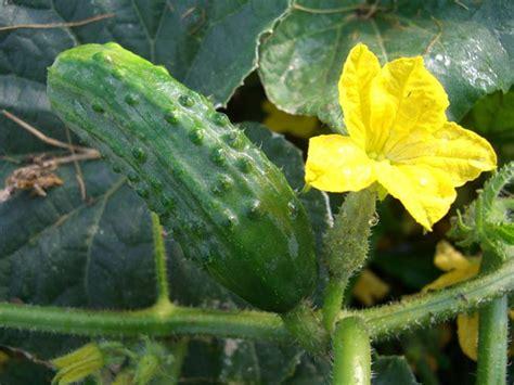 Growing Vine Based Crops   Gardener's Path