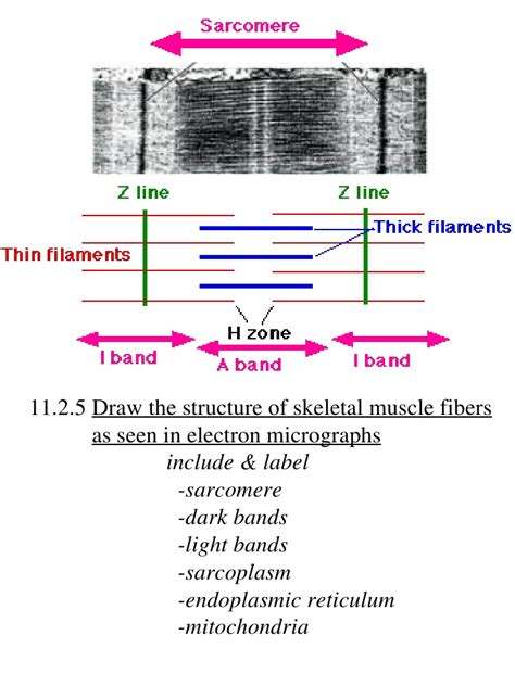 labeled sarcomere diagram ib biology draw assessment statements