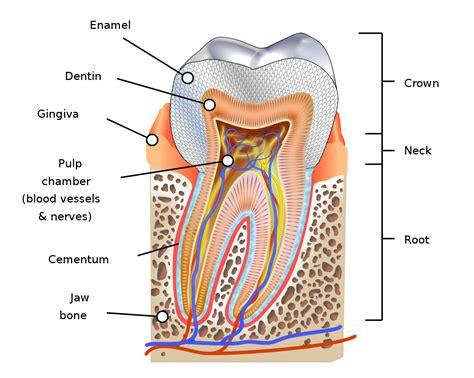 diagram human file human tooth diagram en svg wikimedia commons