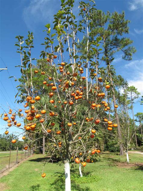 persimmon fruit tree for sale fuyu persimmon tree for sale california