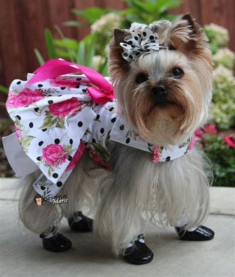 my yorkie keeps shaking 17 best images about yorkies on flat rate poodles and puppys