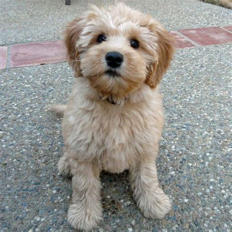 goldendoodle puppy breeders goldendoodles yuba city breeders puppies