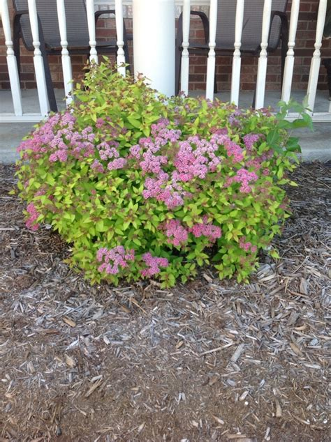 when to prune flowering shrubs how to rejuvenate prune spirea shrubs snapguide