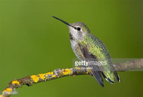 female annas hummingbird on perch in victoria vancouver