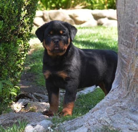 german rottweiler puppies for sale in pa 25 b 228 sta rottweilervalpar id 233 erna p 229 rottweilers