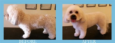 bichon cross yorkie gallery becky s professional grooming
