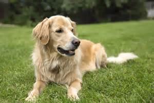 goldene le le golden retriever un chien au cœur d or