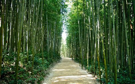 imagenes wallpaper bamboo bamboo forest korea japan wallpapers bamboo forest korea