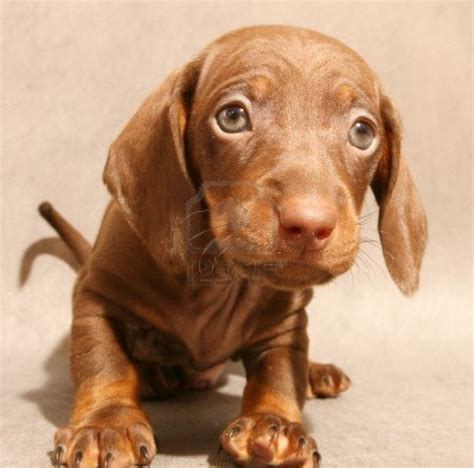 wiener puppy dachshund puppy photo and wallpaper beautiful dachshund puppy pictures