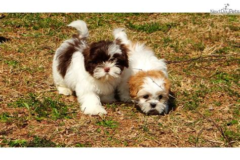 shih tzu breeders in ga shih tzu puppy for sale near atlanta a053ab93 8741