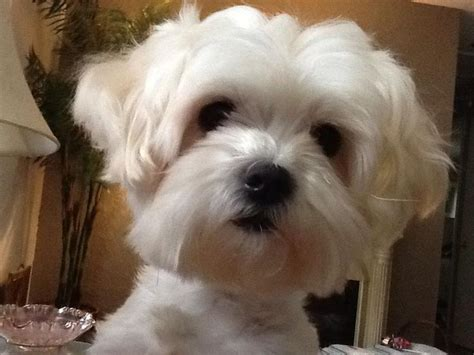 Maltese Shedding Hair by 80 Best Images About Dogs That Don T Shed On